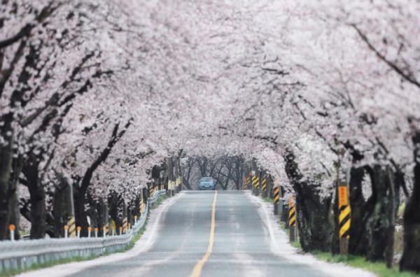 ▲경남 함양군 오십리벚꽃길에 벚꽃이 만개해 있다. (사진제공=함양군청)
