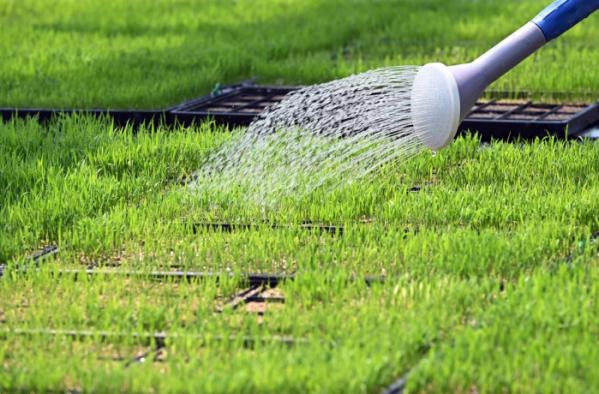 ▲절기상 곡우를 하루 앞둔 19일 경기도 화성시 경기도농업기술원 육묘장에서 관계자들이 모판에서 자라는 볏모에 물을 주고 있다. (뉴시스)
