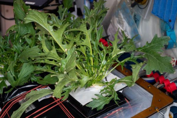 ▲미국 항공우주국(NASA)이 4일(현지 시각) 국제우주정거장(ISS)에서 재배한 채소 사진을 공개했다. (사진제공=미국 항공우주국(NASA))