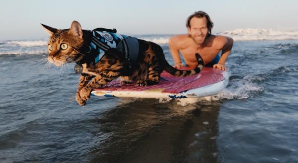 ▲서핑, 패들보드 같은 수상 스포츠는 물론 수영까지 하는 뱅갈 고양이 매버릭. 파도가 잔잔한 날이면 주인 닉은 말리부 해변에서 매버릭과 함께 파도를 즐긴다.     (넷플릭스)